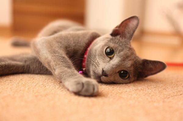 猫ロシアンブルー